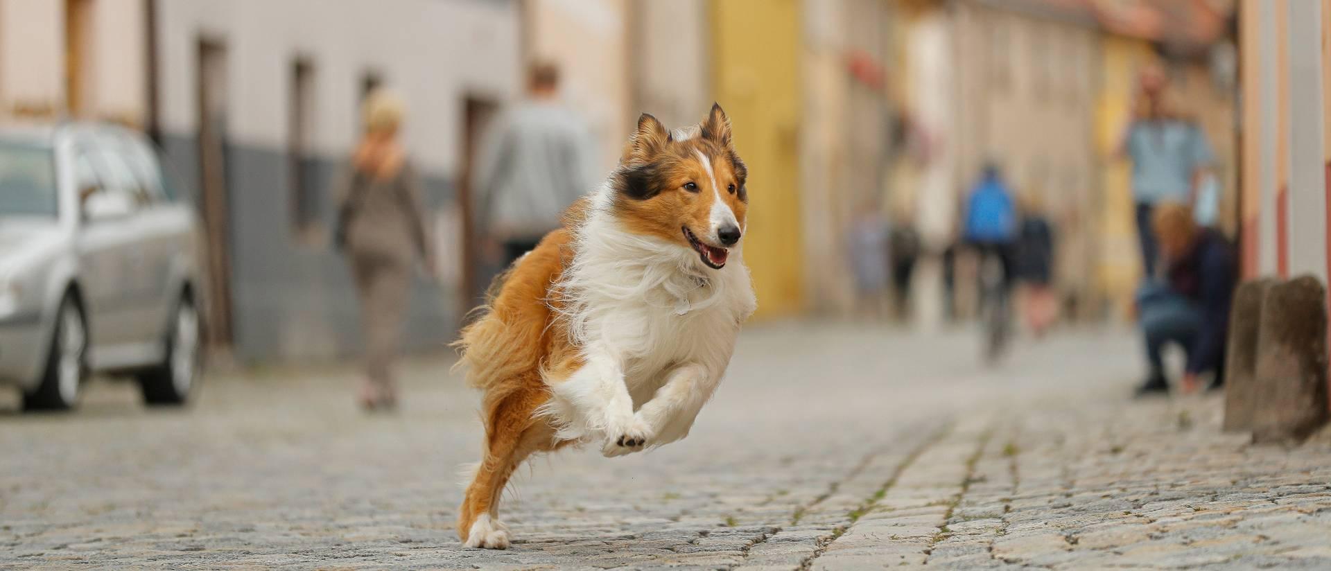 Lassie kommer hjem Lassie kommer hjem [8]