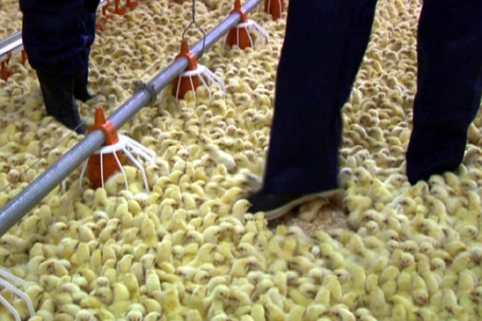 Fra dokumentaren Smaken av hund: Hardt liv for små kyllinger